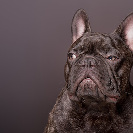 King the Frenchie by Dbart ... - Animals - Dogs Portraits ( england, frenchie, bulldog, domestic dog, stare, french bulldog, portrait, dog, eyes, brindle, small breed )