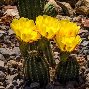 Cactus Flowers-14.jpg