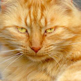 Persi by Teodora Motateanu - Animals - Cats Portraits