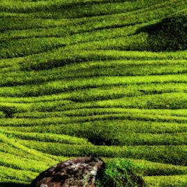Beautiful Line of Tea Farm by Steven De Siow - Abstract Patterns ( abstract, pattern, abstract art, green, tea farm )
