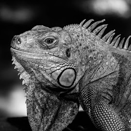 Iguana by Chris Seaton - Animals Reptiles ( nature, black and white, iguana, reptile, animal,  )