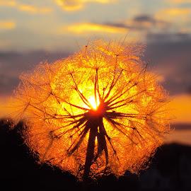 Sun by Svetlana Micic - Nature Up Close Other plants ( dandelion, sunset, nature up close, goat beard, light )