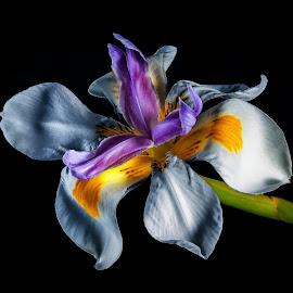 Little one by Robert De Paulis - Flowers Flower Gardens ( tiny, macro, purple, white, yellow, flower, petal )
