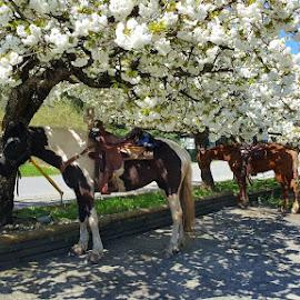 Hitching posts by Karen McGregor - Animals Horses (  )