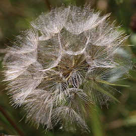 Silvery by Chrissie Barrow - Nature Up Close Other plants ( plant, wild, nature, green, jack-go-to-bed-at-noon, meadow salsify, seeds, bokeh, closeup, silvery, seedhead )