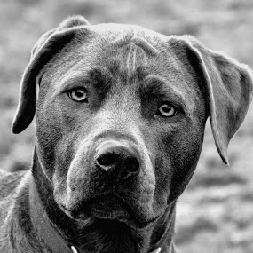 Atlas by Scott Bryan - Animals - Dogs Portraits ( monochrome, black and white, pet, mans best friend, dog, portrait, animal,  )
