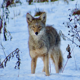 Coyote by Nick Swan - Animals Other Mammals ( coyote, nature, snow, wildlife, bc,  )