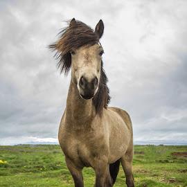 Icelandic horse by Anna Guðmundsdóttir - Animals Horses ( iceland, icelandic horse, horse, anna guðmundsdóttir, ísland, hestur, íslenskur hestur,  )