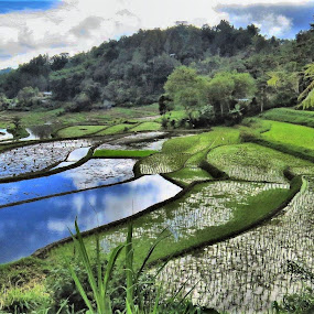 Rice Terraces Tana Toraja by Kinga Urban - Landscapes Prairies, Meadows & Fields ( terrace, rice, places, travel photography, tropics,  )