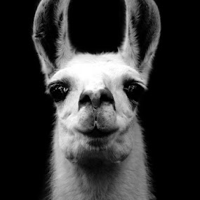 Llama by Dian Adhi - Animals Other Mammals