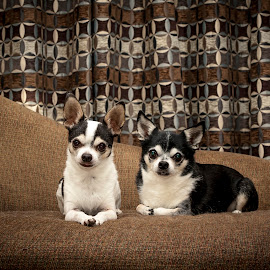 Two peas in a pod by Debbie Quick - Animals - Dogs Portraits ( canine companion, debbie quick, mans best friend, canine, portrait, debs creative images, new york, pleasant valley, k9, chihuahua, studio photography, dogs, animal, family, portrait photography, dog, hudson valley, pet )