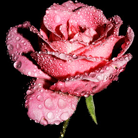 Rose by Anand Kumar - Nature Up Close Flowers - 2011-2013 ( water, rose, nature, petals, pink, dew drops, close up, flower, droplets )