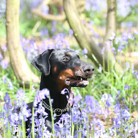 doberman in the bluebells by Martyn Bennett - Animals - Dogs Portraits ( mouth, trees, dobermann, laying, cute, head, dog, nose, sun, bluebells, eyes )