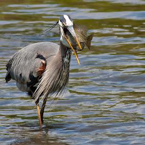 Great Blue Heron and Huge Sushi dinner by Rachel Bilodeau - Animals Birds ( great blue heron grand héron )