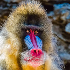 Mandrill by Dave Lipchen - Animals Other Mammals
