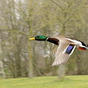 mallard in flight.jpg