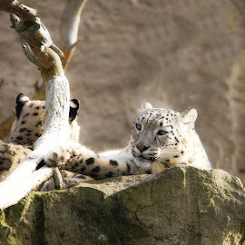 Grooming snow leopard by Karin Wollina - Animals Lions, Tigers & Big Cats ( cat, zoo, nature, wildlife, primate, landscape, leopard, outside, mammal )