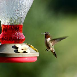 Hovering Hummingbird  by Jon Zielke - Novices Only Wildlife ( bird, ruby throated hummingbird, hummingbird, bird feeder, ruby throated, hummingbird feeder, feeder )