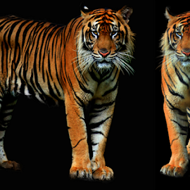Together by Yohanes Arief Dewanto - Digital Art Animals ( wild, tiger, digital art, digital, animal )