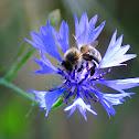 Iberian honey bee; Abeja doméstica ibérica