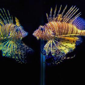 3-25-15-Lion Fish-LR-T.jpg