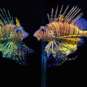 Lion Fish Reflected on the Tank Wall  by Judy Rosanno - Instagram & Mobile iPhone ( fish, lion fish, aqaurium, stripes, , sea creatures, underwater life, ocean life )
