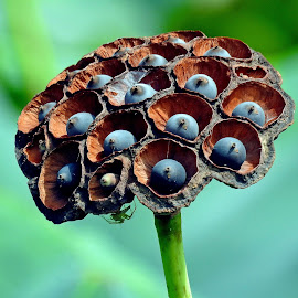 Lotus seed by Asif Bora - Nature Up Close Other plants