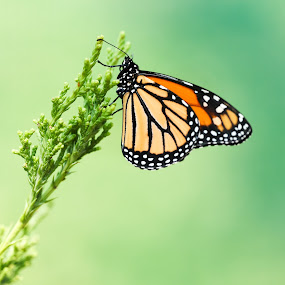 Monarch by Peter Marzano - Animals Insects & Spiders