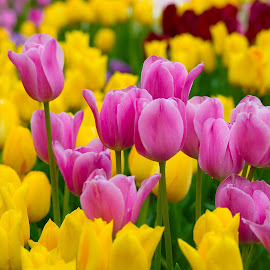 Tulip Fair by Kwoh LK - Flowers Flower Gardens ( japan, tonami, tulip )
