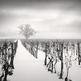 Vineyard in Snow by Jeremy Farrance - Landscapes Weather
