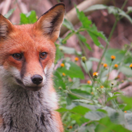 The fox by Flynn Hodgson - Animals Other ( cool, face, orange, wild, animals, fox, mouth, upclose, forest, foxes, pretty, photo, photography, eyes, amazing, red, nature, ears, bush, nature up close, nose, animal,  )