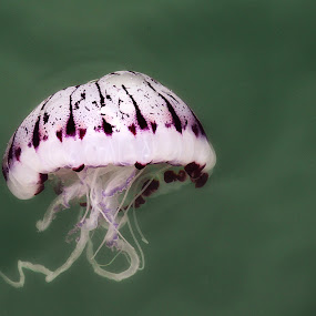 Jelly by Glen Unsworth - Animals Sea Creatures