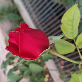 Red Rose by Vivek Sharma - Instagram & Mobile Android ( vivekclix, mobilography, rose, mobile photos, vivek, red rose, flower )