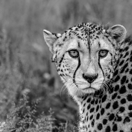 Cheetah by Garry Chisholm - Black & White Animals ( cheetah, nature, kent, garrychisholm, smarden, big cat sanctuary )