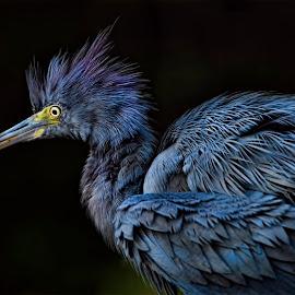 by Lisa Coletto - Animals Birds ( bird, fluffy, blue heron, fish eater, heron )