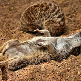 Time Out by Roar Randeberg - Animals Other ( sand, resting, enjoying, time out, sleeping )