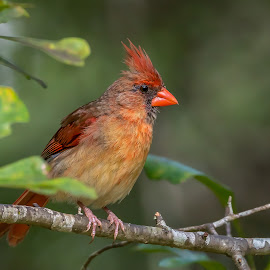 Young Female Northern Cardinal by Shutter Bay Photography - Animals Birds ( color, nature, northern cardinal, bird photography, bird, portrait,  )