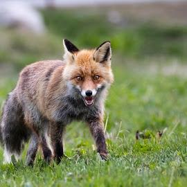 Altre foto sulla mia pagina: Mattia Sarini Photography !! by Mattia Sarini - Animals Other Mammals