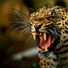 :: I'm Hungry :: by Roy Ardy - Animals Lions, Tigers & Big Cats (  )