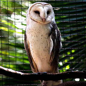 Barn Owl by Joanne Draper - Novices Only Wildlife ( australia, owl, barnowl, wildlife )
