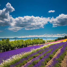 Lavendor farm in Japan by Vorravut Thanareukchai - Landscapes Prairies, Meadows & Fields ( farm, japan, lavendor, colorful, hokkaido )