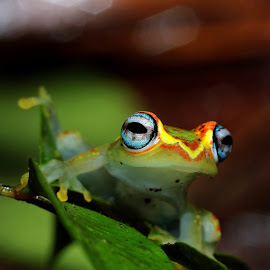 Boophis rappiodes from Madagascar (Andasibe) by Serge Pasquasy - Animals Amphibians