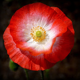 poppy by Caroline Beaumont - Flowers Single Flower ( poppy )