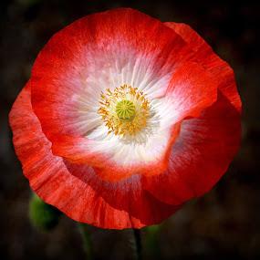 poppy by Caroline Beaumont - Flowers Single Flower ( poppy )