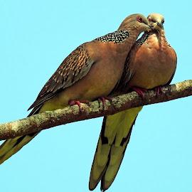 Dove  by Asif Bora - Animals Birds