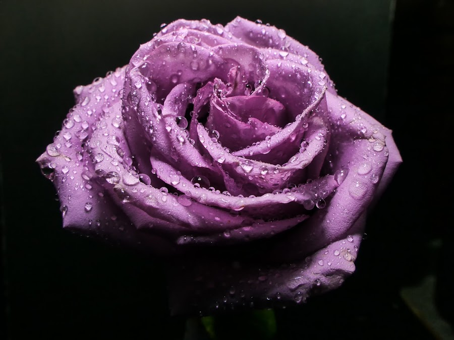 Purple Rose 2 by Dave Walters - Flowers Single Flower ( nature, colors, purple rose, lumix fz2500,  )