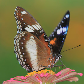 BUTTERFLY by Deddy Setiawan - Animals Insects & Spiders