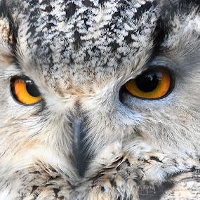 by Anthony Hutchinson - Animals Birds (  )