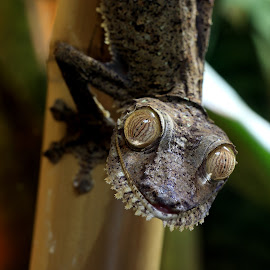 Those eyes... by Abbey Gatto - Animals Reptiles ( reptiles, animals, nature, wildlife, close up, uroplatus fimbriatus )