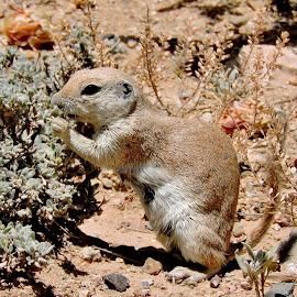 Ground Squirrel by Julie Knight - Animals Other